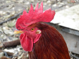 Beautiful red rooster portrait. Cock on the farm  - 209068257