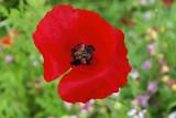 Klatschmohn (Papaver rhoeas), Blumenwiese, Schwäbisch Gmünd, Baden-Württemberg, Deutschland, Europa - 209070652