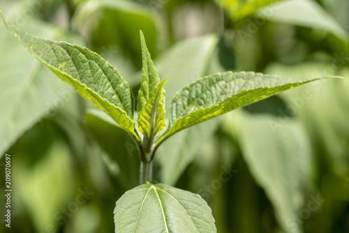 Topinambur als Heilpflanze für Naturmedizin und Pflanzenheilkunde