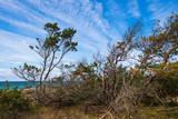 Vom Wind gebeugte Kiefern an der Ostseeküste - 209072033