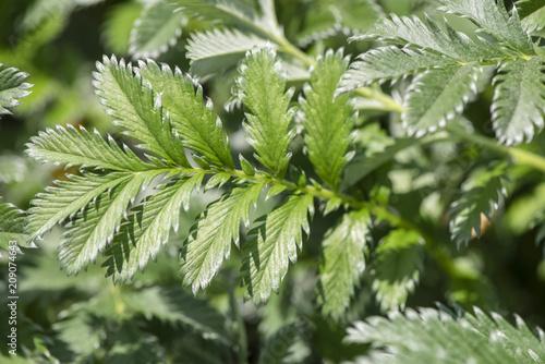 Gänsefingerkraut als Heilpflanze für Naturmedizin und Pflanzenheilkunde