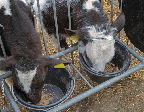Foto Murales Calfs. Cows. Belgian blue