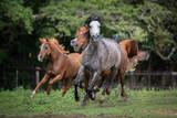 Cavalo Árabe, Horse Arabian - 209076821