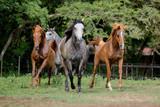 Cavalo Árabe, Horse Arabian - 209076884