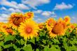 Leinwanddruck Bild - nice sunflowers on meadow