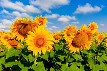 nice sunflowers on meadow