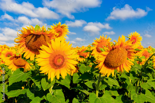 nice sunflowers on meadow