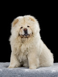 Chow Chow puppy portrait with black background. - 209078409