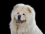 Chow Chow head portrait isolated on black. - 209079450