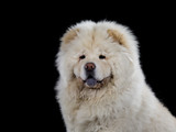 Chow Chow head portrait isolated on black. - 209079492