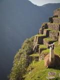 Macchu Pichu Lamas