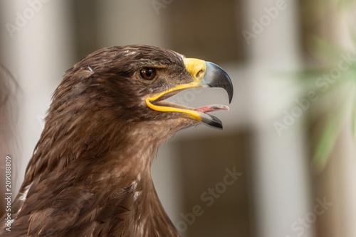 Plexiglas Eagle eagle head with an open beak