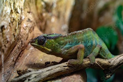 Fotobehang Kameleon Panther Chamaleon camaleon madagascar lizard