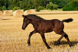 A female foal, German heavy warmblood horse baroque type, goes at a trot  - 209093012