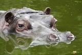 A hippopotamus in a pool at the zoo in Antwerp, Belgium. - 209095275