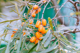 Orange sea buckthorn berries on the branches - 209097091