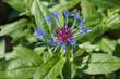 Leinwanddruck Bild - Mountain bluet or centaurea montana or perennial cornflower blue flowers