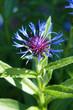 Leinwanddruck Bild - Mountain bluet or centaurea montana or perennial corn blue flower vertical