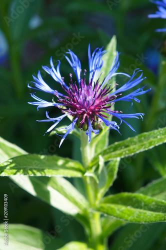 Leinwanddruck Bild Mountain bluet or centaurea montana or perennial corn blue flower vertical