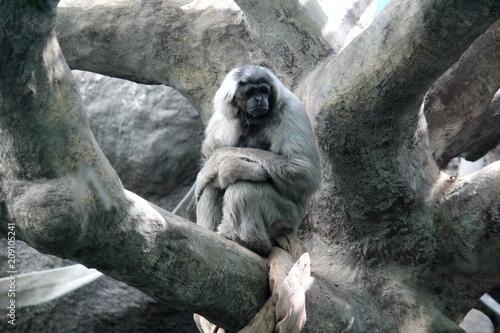 Aluminium Aap Человекообразная обезьяна