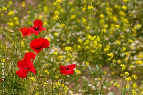 Wild poppies in a field of flowers