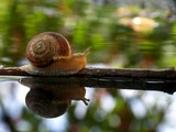 Snail on the branch in the water  - 209117636
