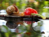 snail in water and cherry