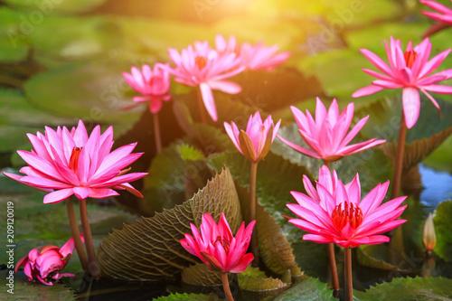 Wall mural Beautiful pink lotus