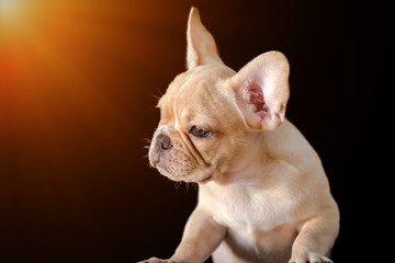 Closed up of cute french bulldog isolated on black background.