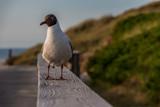 schöne Möwe auf Sylt am Strandweg - 209123030