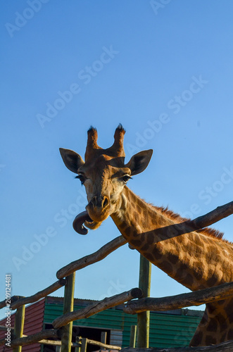 Poster Giraffe with funny tongue, on farm, close up