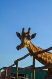 Giraffe with funny tongue, on farm, close up - 209124849