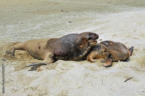 Fotobehang Lion Sea lion on the sandy beach in New Zealand