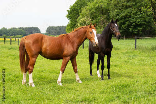 Horses in green field