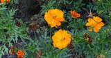 Orange Cosmos Flowers - 209136416
