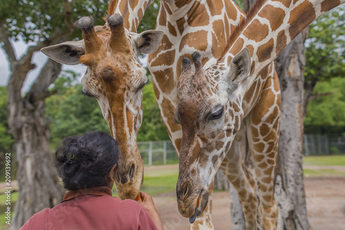 Poster Tourists feeding giraffe