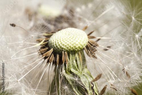 part of the dandelion © rsooll