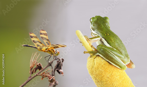 Foto Murales Focus Stacked Image of a Green Tree Frog Eyeing a Halloween Pennant Dragon Fly
