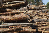 trunks of pine trees - 209150249