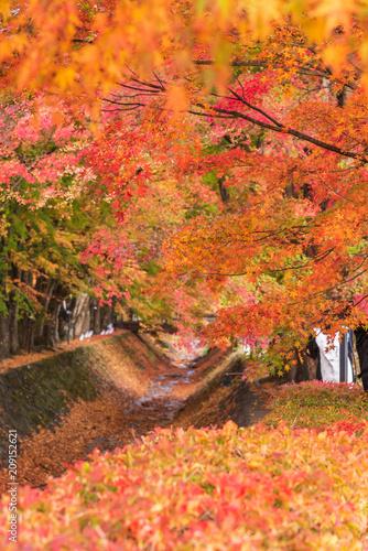 Fotobehang Herfst Maple corridor (Momiji Tunnel) in autumn season at Kawaguchi, Japan