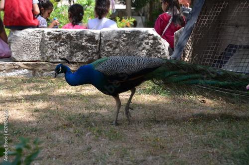 Aluminium Pauw peacock bird nature