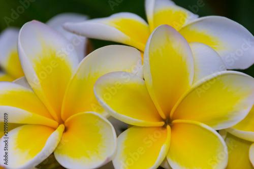 Fotobehang Plumeria Bunch of Franjipani
