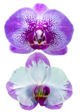 orchid, flower, pink, isolated, nature, purple, white, plant, beauty, blossom, bloom, phalaenopsis, petal, beautiful, tropical, floral, exotic, flowers, branch, botany, flora, spring, stem, single, de