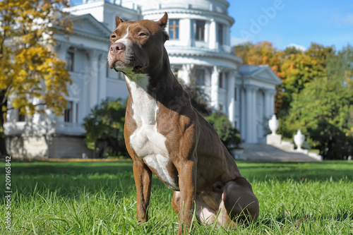Pitbull near house