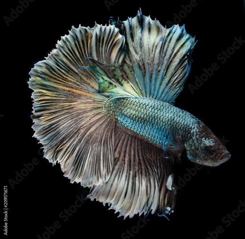 Fighting fish, colorful background, Halfmoon betta fish - 209171671