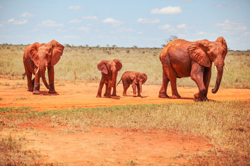 Family of African bush elephants (Loxodonta africana) covered with red dust, walking on dry savanna. Tsavo East national park, Kenya.