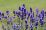 Lavender flowers blooming in the garden, beautiful lavender field - 209173687