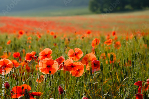 Aluminium Klaprozen Coquelicots, gros plan sur le champ de blé, lever de soleil, bume de matin.