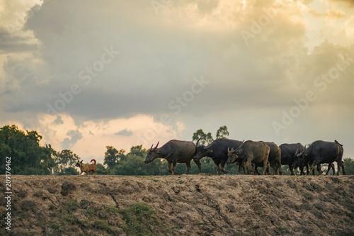 Fotobehang Beige Buffalo walk home. Buffalo in Thailand.
