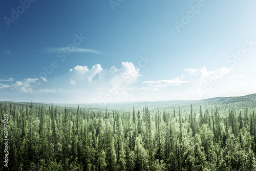 Fotobehang Zomer fir tree forest in sunny day